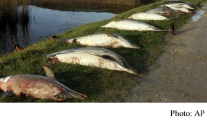 Gruesome mystery as 1,100 dead dolphins, many mutilated and finless, wash ashore in France this year (South China Morning Post - 20190329)