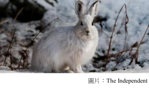 Hares no longer turning white during winter due to impact of climate change (The Independent - 20180220)