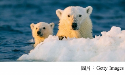 Climate change could make giving birth riskier for polar bears in northern Alaska (ABC News - 20101222)