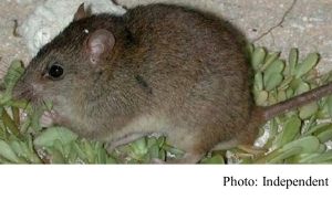 Bramble Cay melomys: Rodent declared first mammal made extinct by human-made climate change (Independent - 20190220)