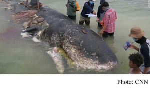 Dead whale in Indonesia had swallowed 1,000 pieces of plastic (CNN - 20181120)
