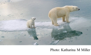 Climate change: Polar bears could be lost by 2100 (BBC - 20200720)