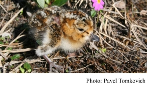 Decline in shorebirds linked to climate change, experts warn (Science Daily - 20181108)